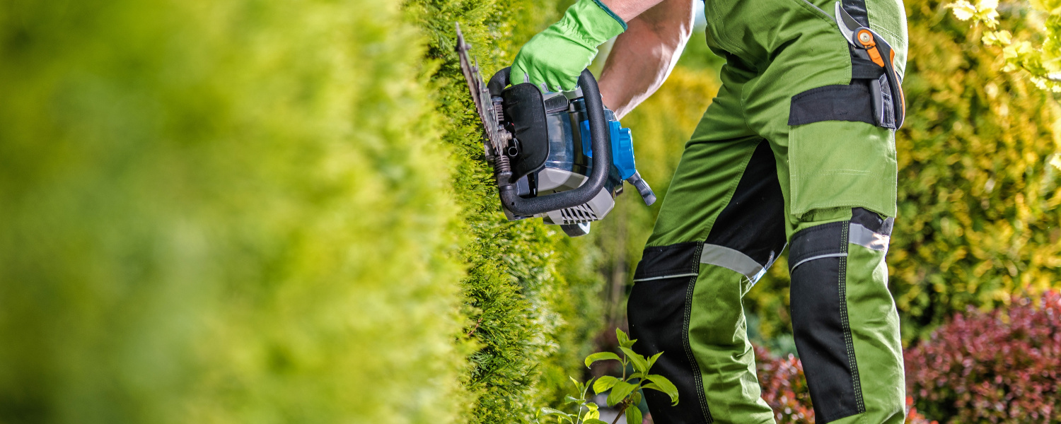 When is the best time to cut hedges?